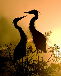 This silhouette photograph of a pair of Great Blue Herons was captured in Wakodahatchee Wetlands in Boynton Beach, Florida (12/08).   This photograph is protected by the U.S. Copyright Laws and shall not to be downloaded or reproduced by any means without the formal written permission of Ken Conger Photography.