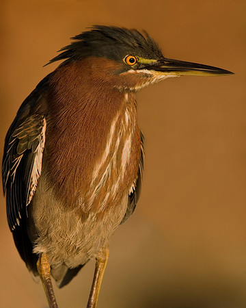 This photograph of a Little Green Heron was captured in Wakodahatchee Wetlands in Boynton Beach, Florida (12/08).   This photograph is protected by the U.S. Copyright Laws and shall not to be downloaded or reproduced by any means without the formal written permission of Ken Conger Photography.
