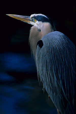 This is a photograph of a Great Blue Heron taken at Everglades National Park (3/05).
