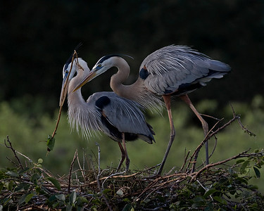 These Great Blue Herons were photographed at Wakodahatchee Wetlands, Florida (4/08).   This photograph is protected by the U.S. Copyright Laws and shall not to be downloaded or reproduced by any means without the formal written permission of Ken Conger Photography.