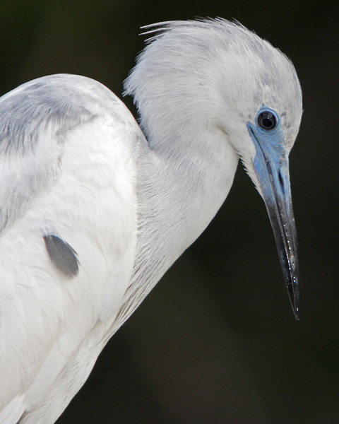 This is a photograph of an immature Little Blue Heron (St. Augustine 4/06).
