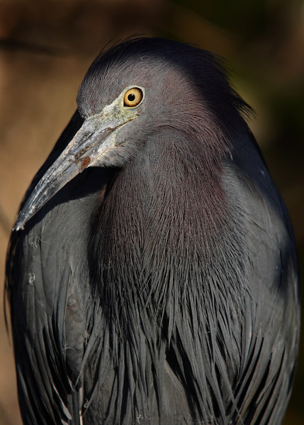 This Little Blue Heron photograph was captured at Everglades National Park (2/07).