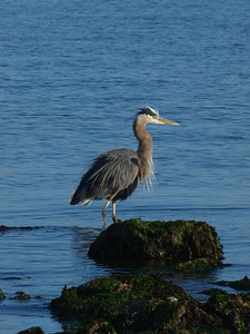Blue Heron, Discovery Park, Seattle, WA