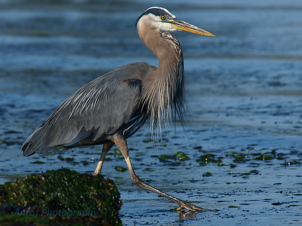 Heron Pictures
