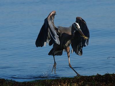 Blue Heron, Discovery Park, Seattle, WA