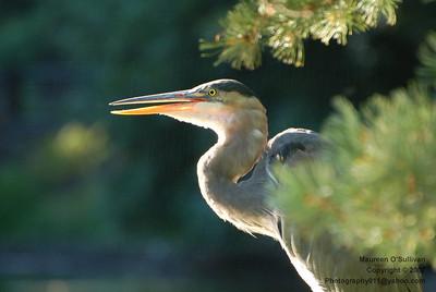 Great Blue Heron, Auburn Lake, Mount Auburn Cemetary
