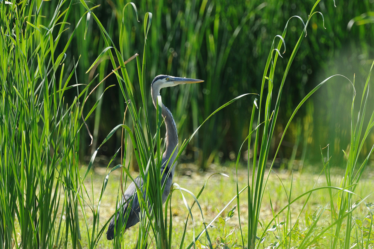 Great Blue Heron (2)
