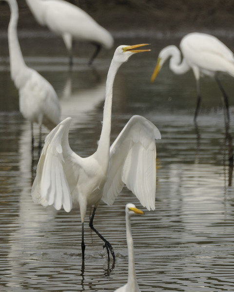 Great Egret (10)