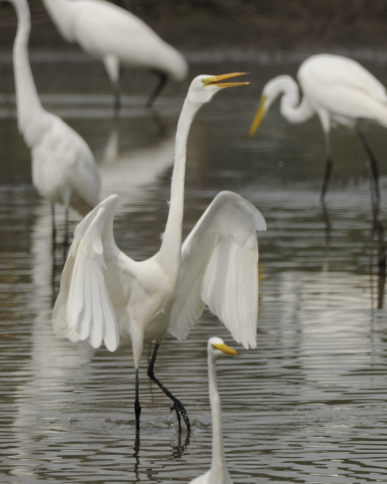 Great Egret (10)