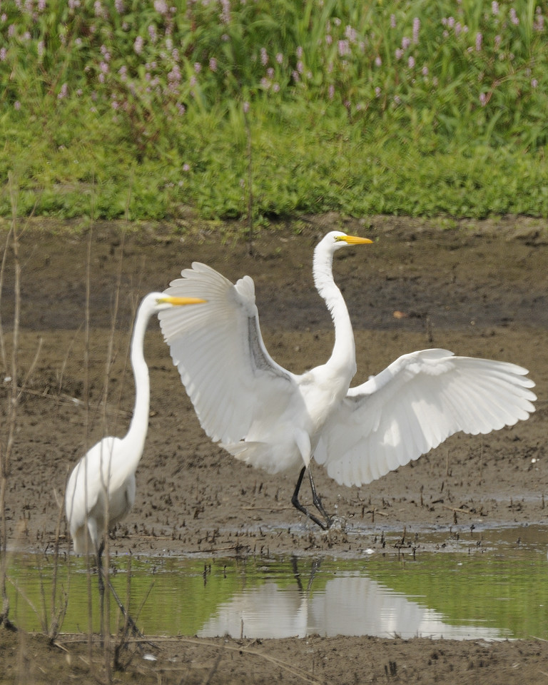 Great Egret (8)
