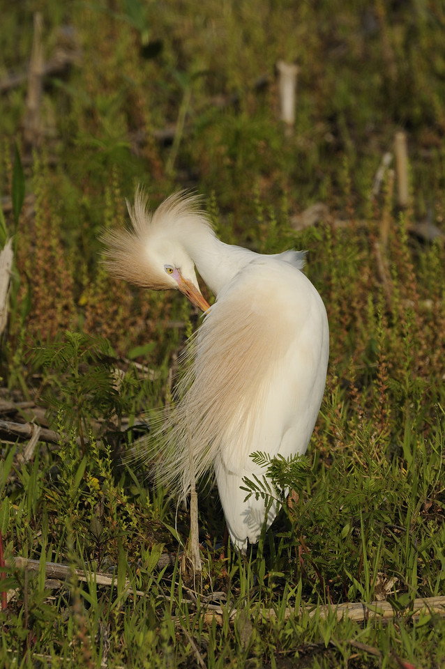 Cattle Egret (1)