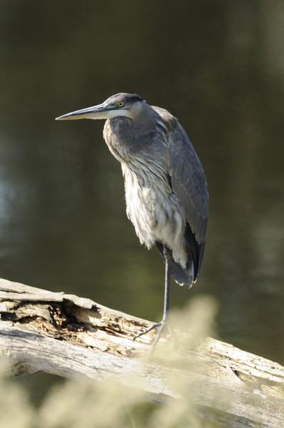 Great Blue Heron (15)