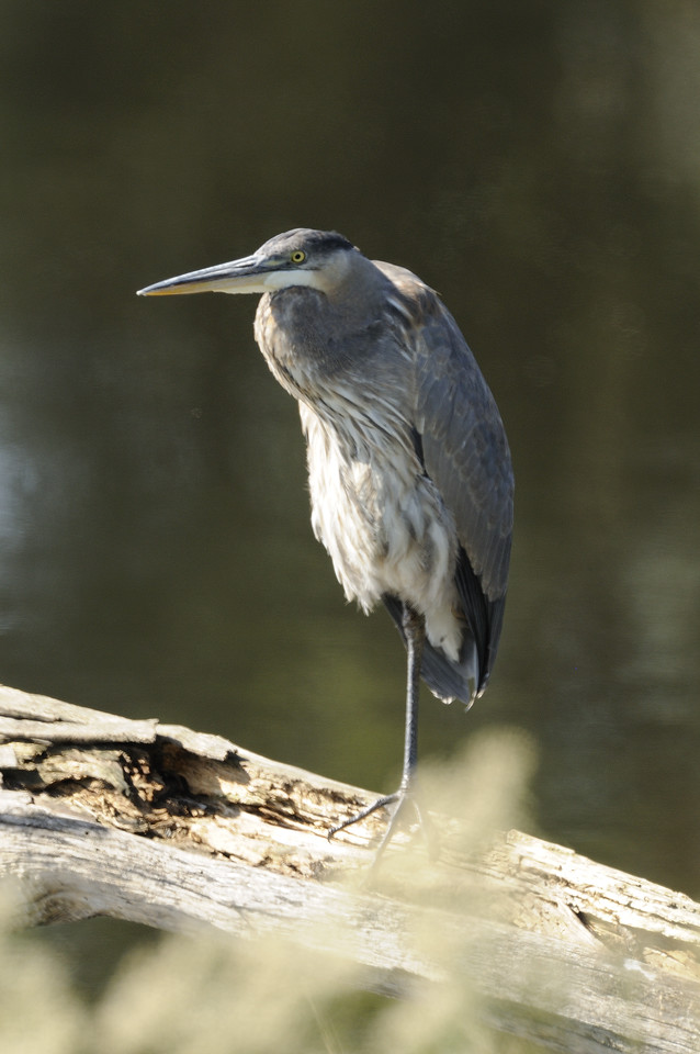Great Blue Heron (15)