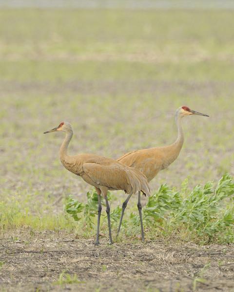 Sandhill Crane (21) - Eagle Bluffs Conservation Area Missouri