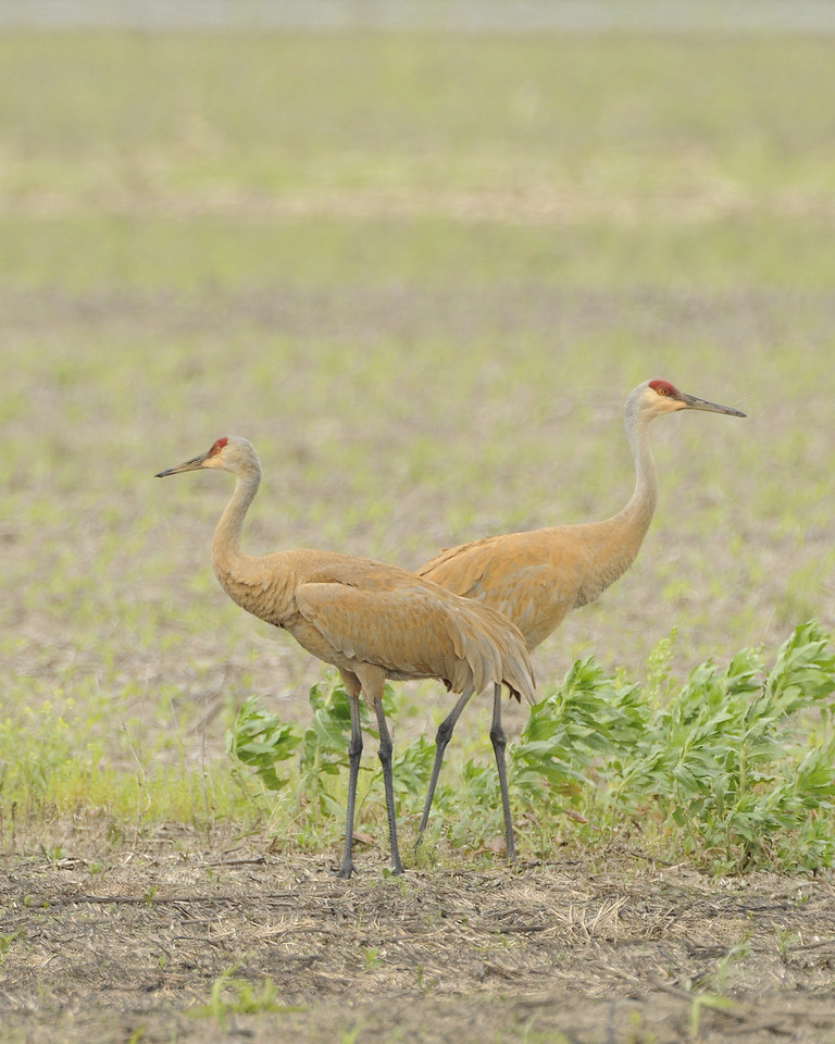 Sandhill Crane (21) - Eagle Bluffs Conservation Area Missouri