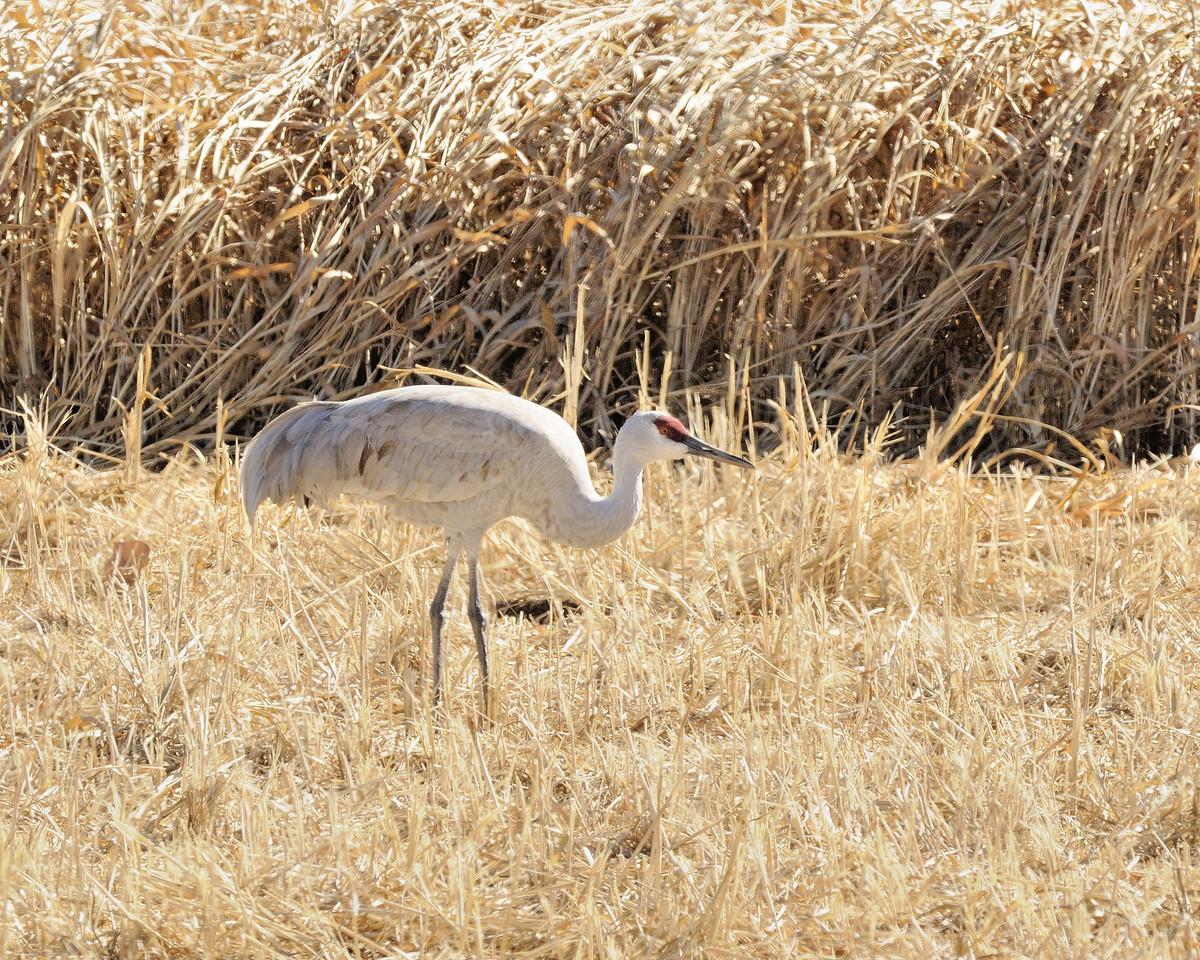 Sandhill Crane (140