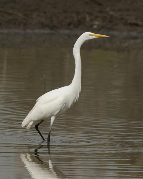 Great Egret (7)