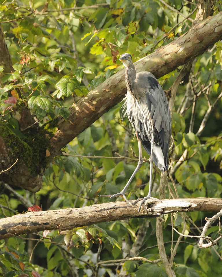 Great Blue Heron (9)