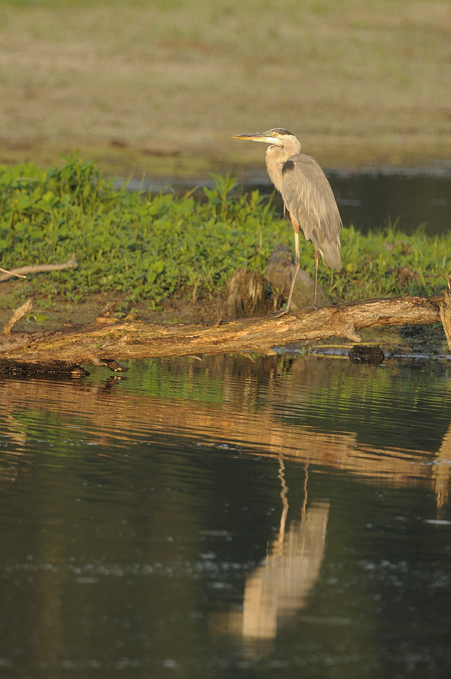 Great Blue Heron (6)