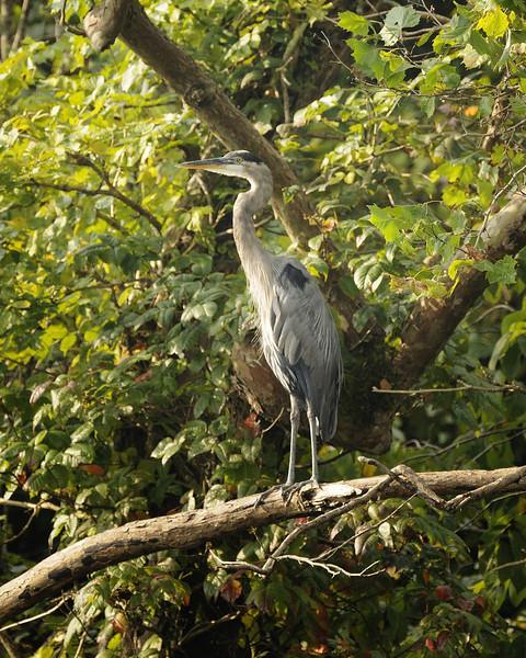 Great Blue Heron (8)