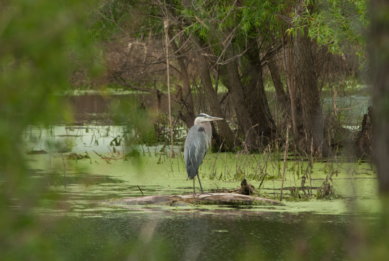 Great Blue Heron (12)
