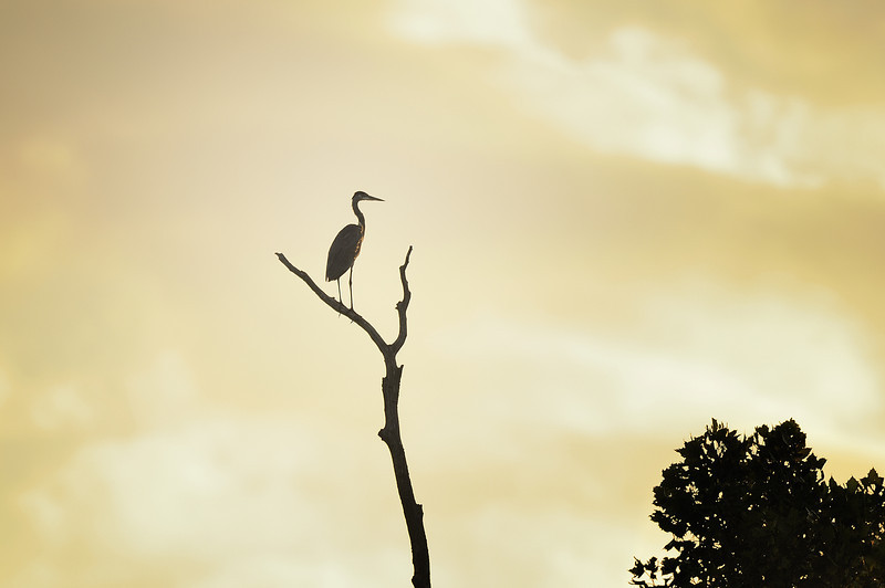 Great Blue Heron watching the sunrise. Eagle Bluffs Conservation Area, Boone County, Missouri.