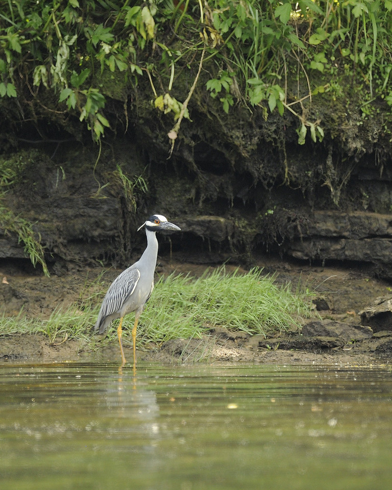 Yellow Crowned Night Heron (1) - Norfork Arkansas