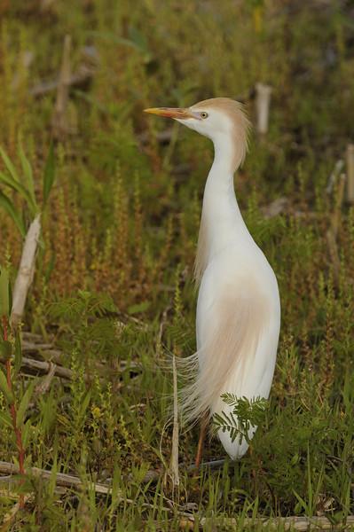 Cattle Egret (3)