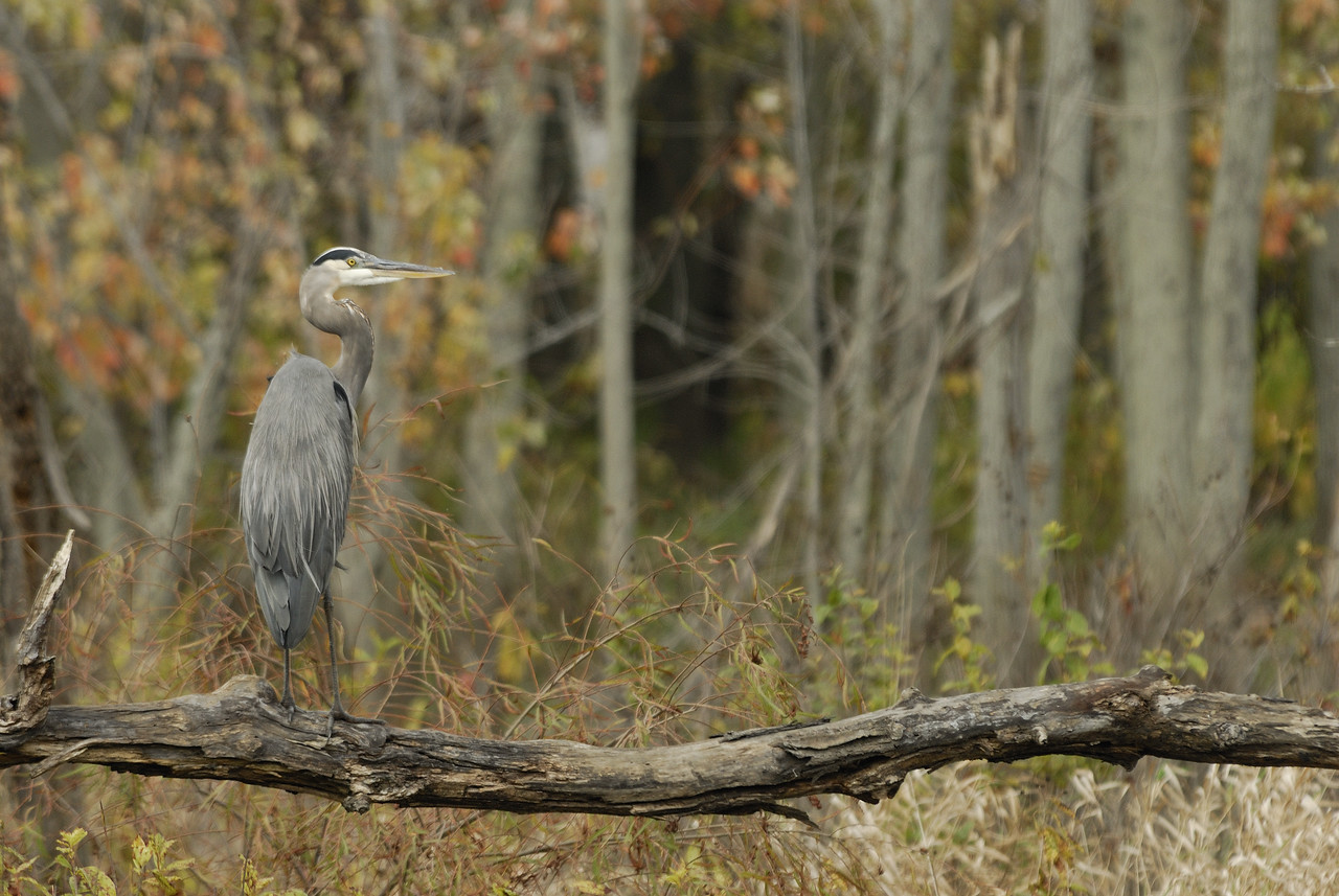 2008 10 12_Great Blue Heron (1)