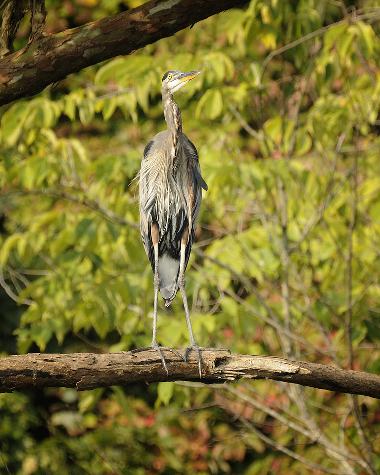 Great Blue Heron (11)
