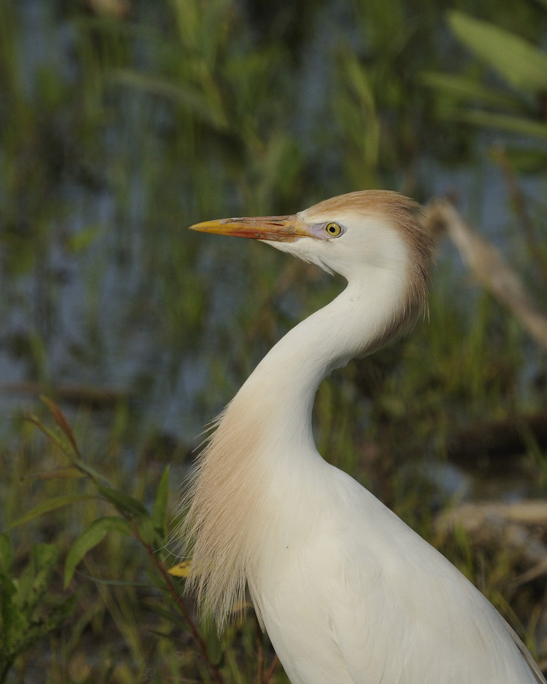 Cattle Egret (4)