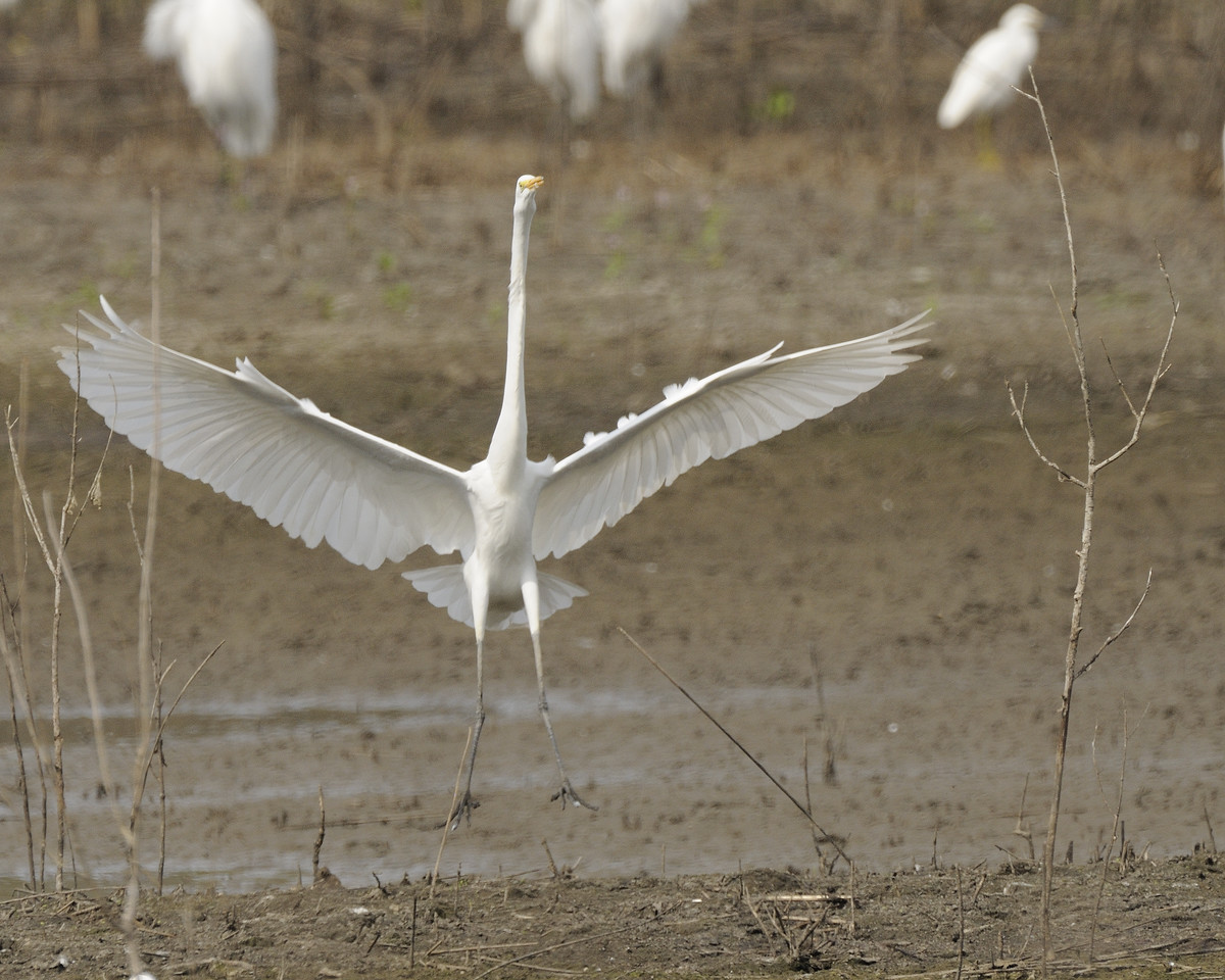 Great Egret (9)