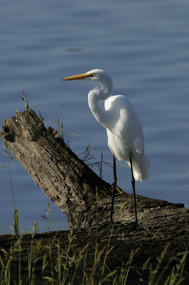 Great Egret (5)