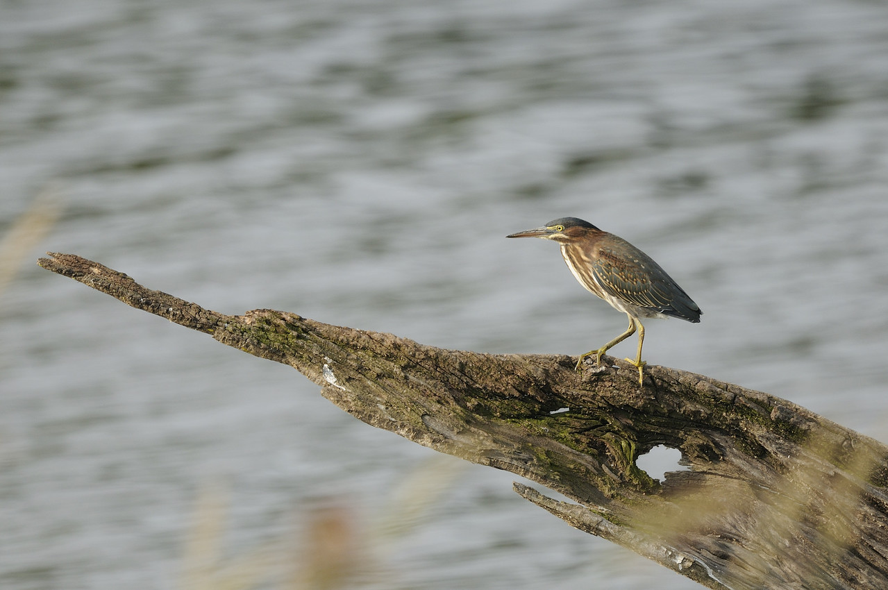Green Heron on Log (1)