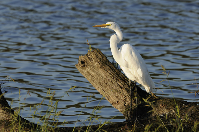 Great Egret (1)