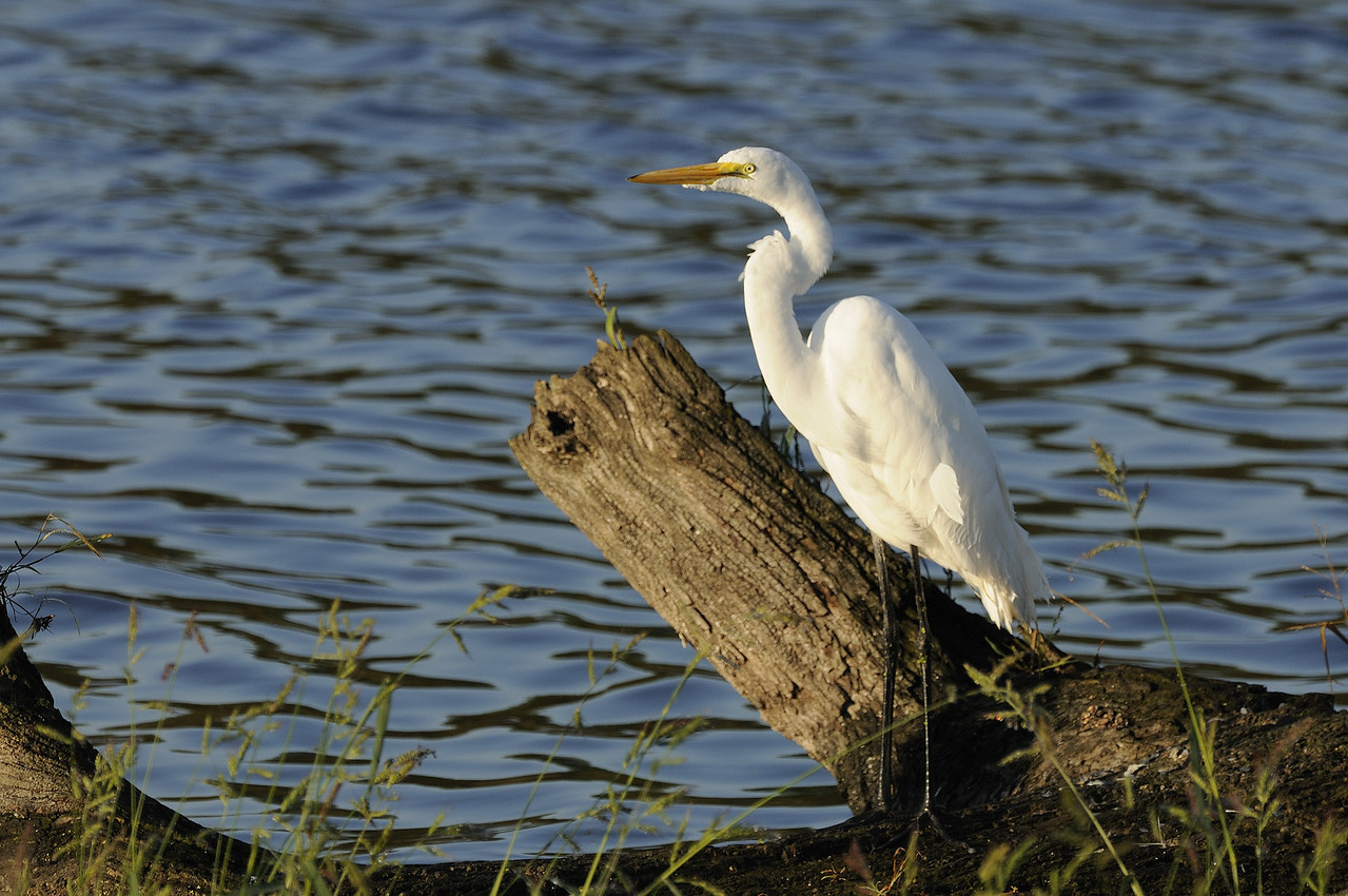 Great Egret (1)