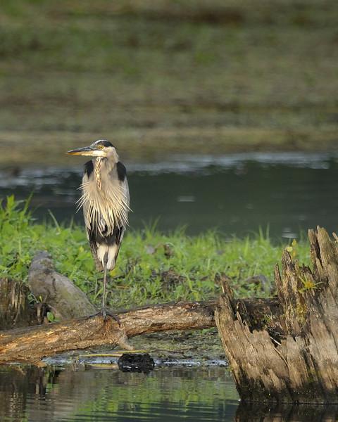 Great Blue Heron (7)