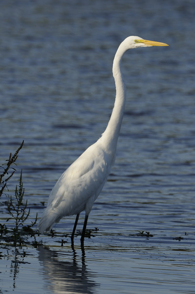 Great Egret (4)