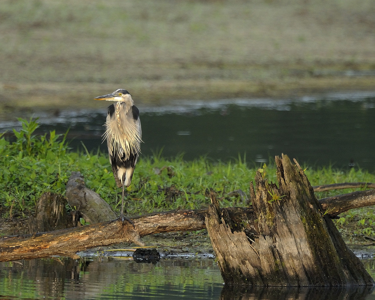 Great Blue Heron (4)