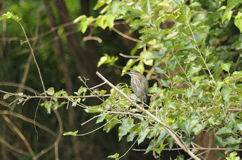 Green Heron (3)