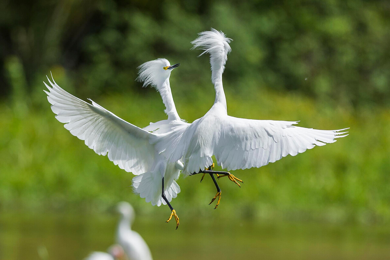 Snowy Egret Interaction Orlando Wetlands Park Florida © 2014