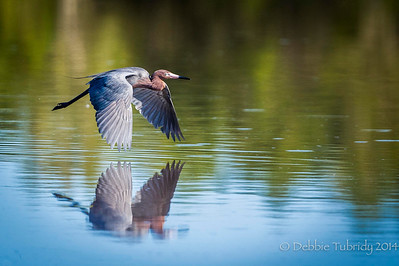 Gliding Over the Pond Reddish egret glides effortless over Eco Pond Flamingo, Everglades National Park, Florida © 2014