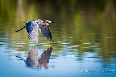 Gliding Over the Pond Reddish egret glides effortless over Eco Pond Flamingo, Everglades National Park, Florida © 2014