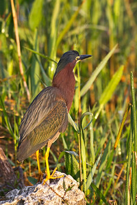 Green Heron Meets Early Morning Light Anhinga Trail, Everglades National Park Florida © 2013