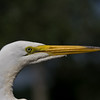 Great Egret 051108_8390