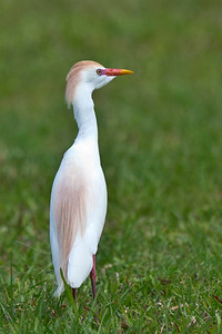 Cattle Egret in Breeding Colors Joe Overstreet Landing Kenansville, Florida © 2012