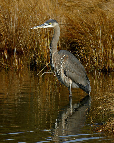 Great Blue Heron 122805_6456-2