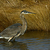 Great Blue Heron 122805_6541