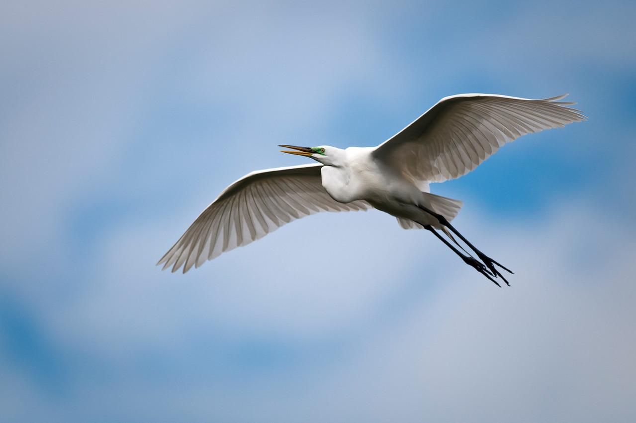 Great White Heron Gatorland Rookery Orlando, Florida © 2011