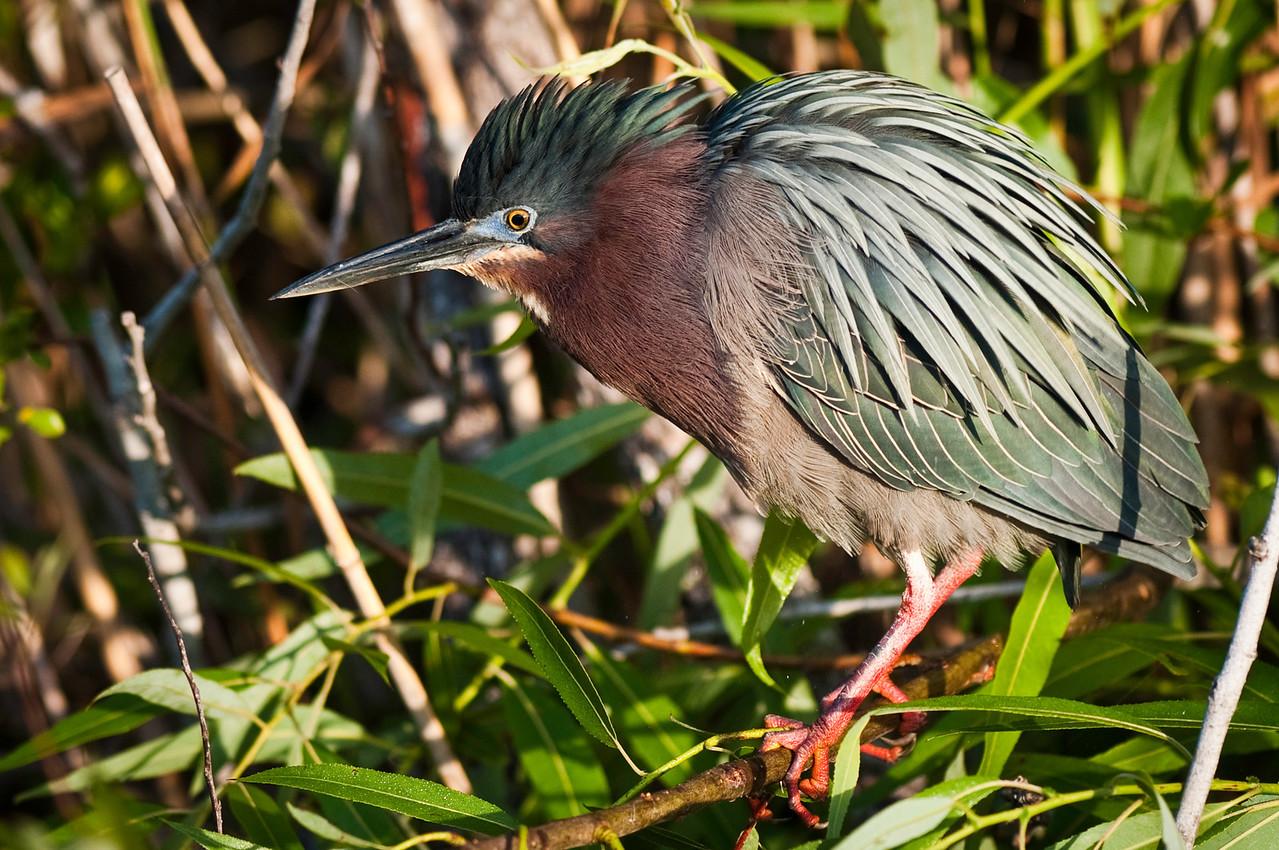 Green Heron in breeding plumage Anhinga Trail, Everglades National Park Florida © 2011